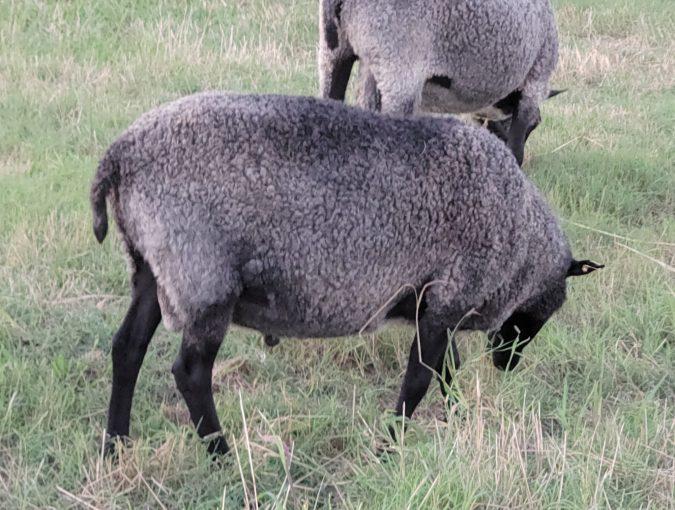 Gotland Sheep ram