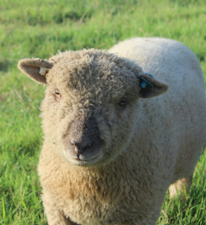 Babydoll Southdown ram lamb