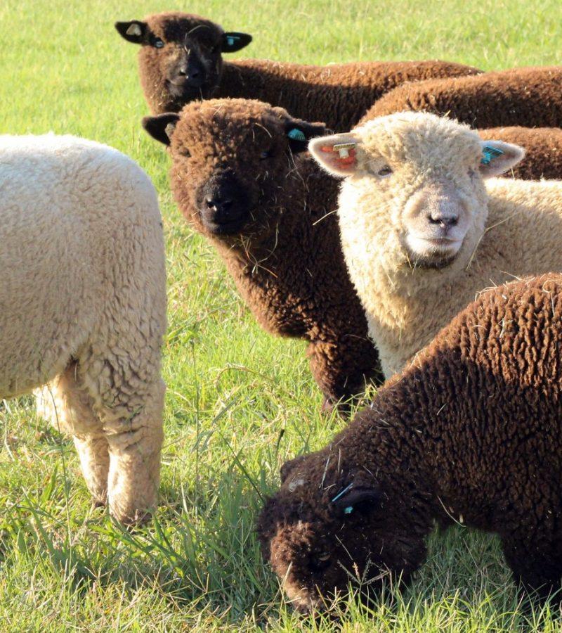 Babydoll Southdown lambs